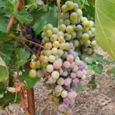 ripening-grapes 2